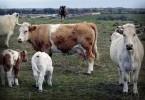 ganado-vacuno-76547