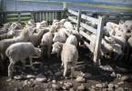 cria-ovejas-65435
