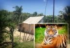 tigre-koben-54356